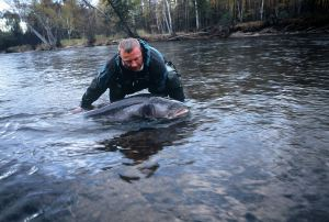 A Siberian Taimen, also known as a Mongolian Terror Trout, can live over 50 years, grow to 230 pounds, and reach 7-feet long. National Geographic photo
